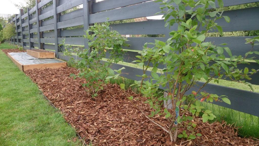 """Ekologinis daržas kieme – šilauogės ir """"pakeltos"""" lysvės, paruoštos braškių sodinimui."""