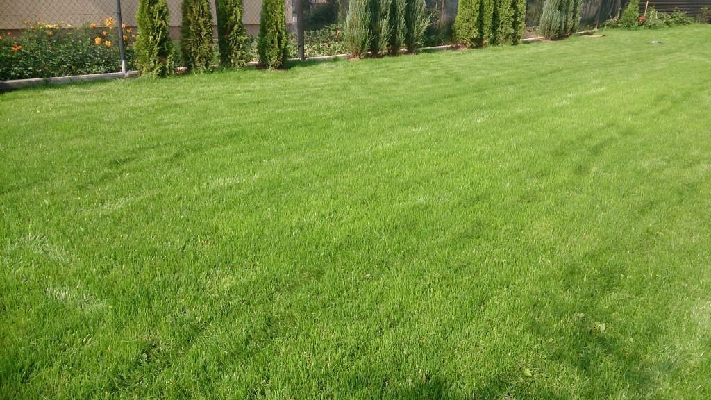 Puikiai sudygusi veja po pirmojo pjovimo.