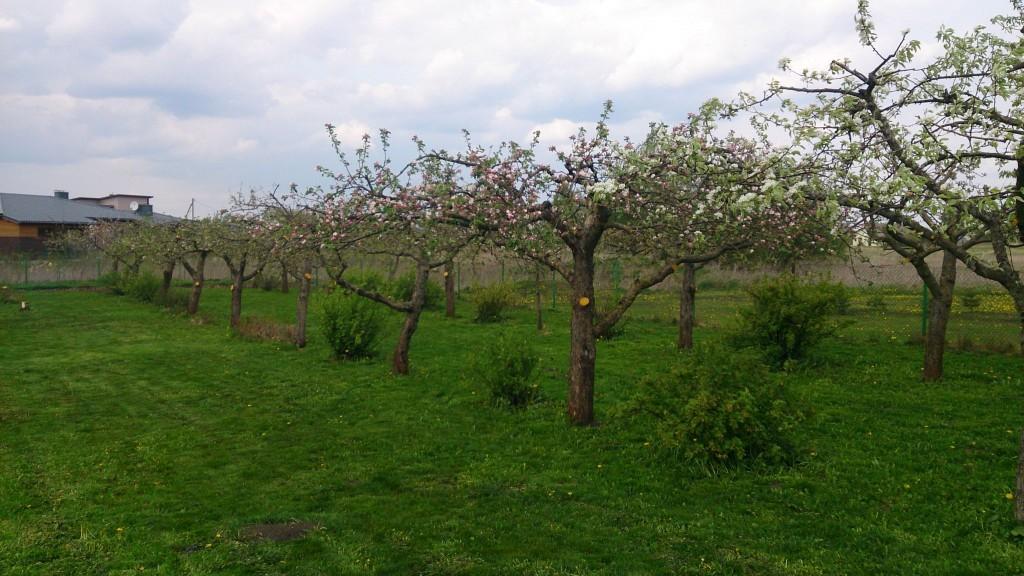 Žydintys, ankstyvą pavasarį nugenėti vaismedžiai.